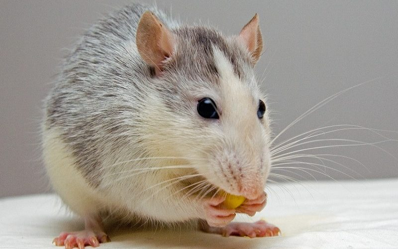 """Oyster Pearl """"Hack"""":  Tiny Hole for a Big Rat"""